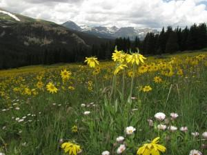 Fields of Alpine Sunflower can be found along Boreas Pass Road.