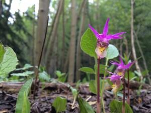 The uncommon Fairy Slipper Orchid is a treat to find in the forest zone.
