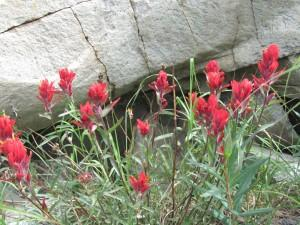 Indian Paintbrush can be found on the hill at Carter Park.